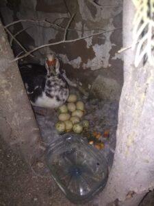 La madre con sus huevo por la mañana
